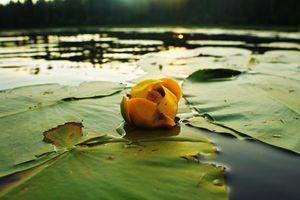 Lily on Loonie Lake