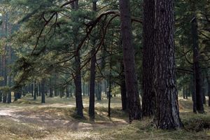 Nordic pine tree forest