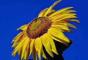 Great Yellow Sun