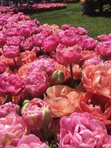 Tulips, flowers 1