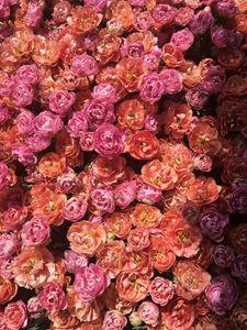 Flowers, tulips 3