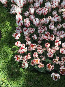 Tulips, flowers 4