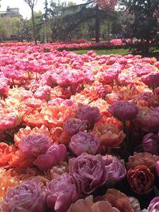 Tulips, flowers 5
