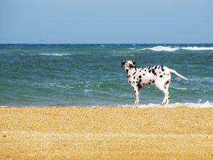 Surfing Dalmatian
