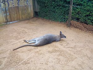 The Planking Wallaby