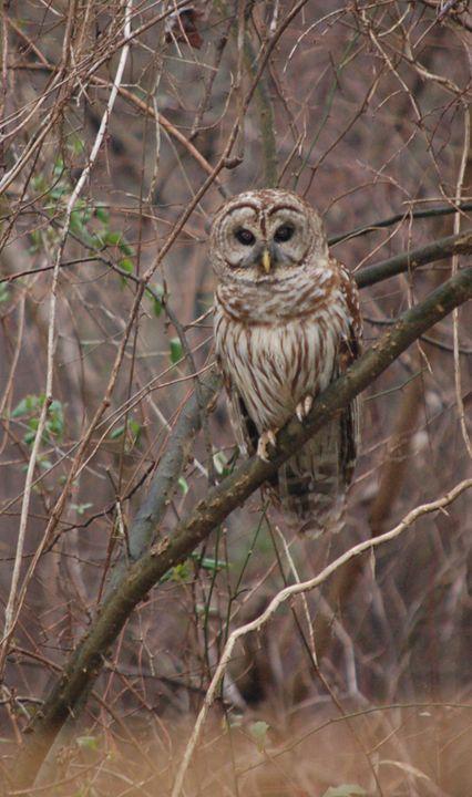 Owl - Lynn Murphy