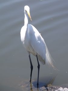 Egret, Florida, USA - David K. Myers Watercolor/ Photo Gallery