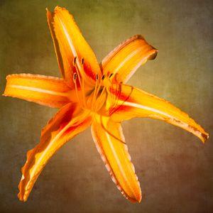 Tiger Lily with Background - Welborne Fine Art