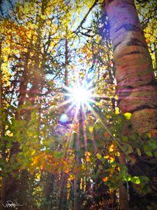 Sunlight Through the Aspens