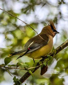 Wild Bird - Waxwing - Aspen Willow Fine Art Photography Gallery