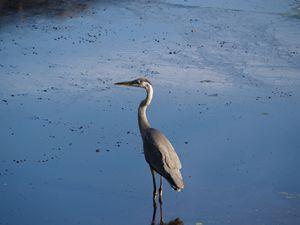Still of Blue Heron