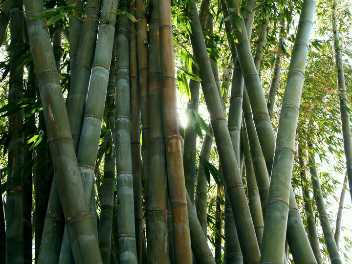 Bamboo Forest - Eveoak