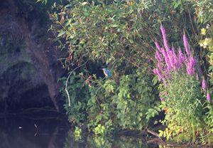 Kingfisher beside its nest - Mats Janson