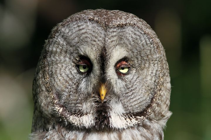 Great grey owl - Mats Janson