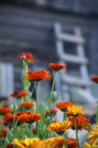 flowers calendula and ladder