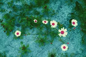 flowers camomiles