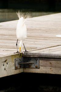 Snowy Egret on jetty