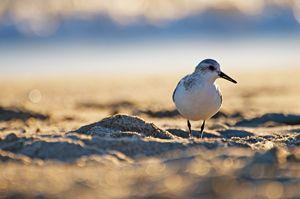 Beach Bird Sandpiper
