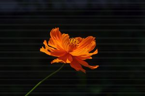 Solitary Cosmos