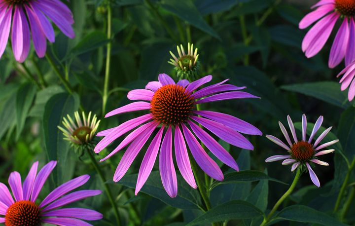 Early Morning pink Cone Flower - Jamiol's Art