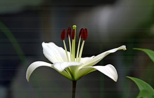 Lin's Lily
