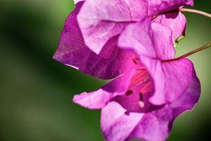 Pink Bougainvillea in the Sun 02