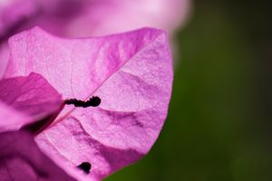 Pink Bougainvillea in the Sun 01