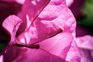 Pink Bougainvillea in the Sun 03