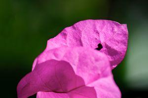 Pink Bougainvillea in the Sun 04