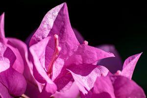 Pink Bougainvillea in the Sun 05