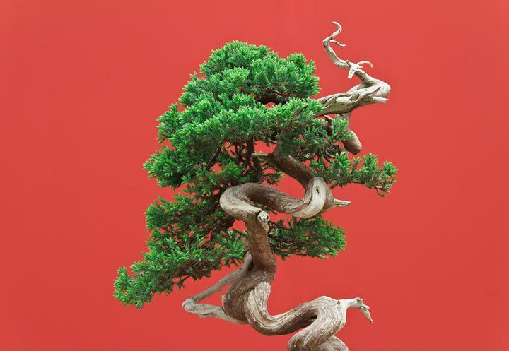 Juniper bonsai - Antonio-S