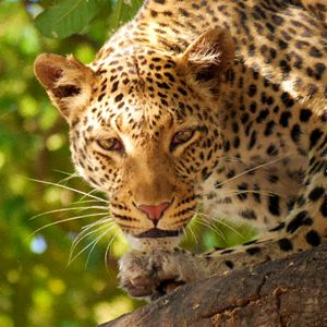 Leopard On The Prowl - Painting