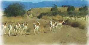 Pronghorn Antelope Herd Arizona - Pa