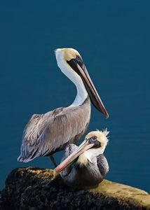 Brown Pelican Duo