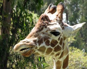 Chewing Giraffe - C. Fay Fine Art