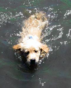 Puppies First Swim