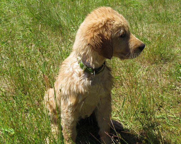 Golden Retriever Puppy After Swim - C. Fay Fine Art