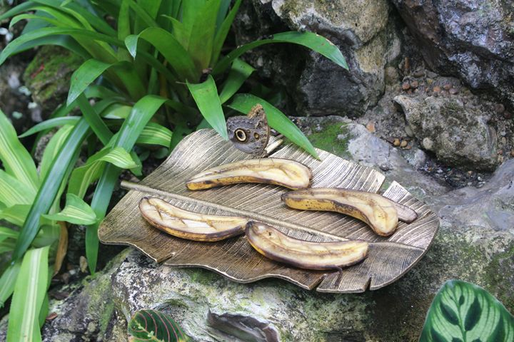 Butterfly on Banana - MRivera