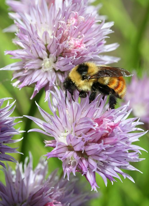 Bee on Chives - Awesome Nature