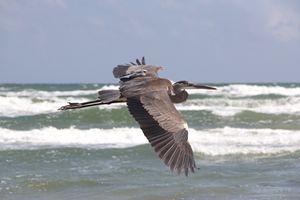 Ocean Heron