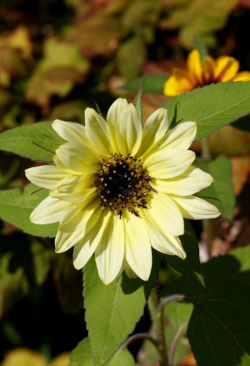 Sunflower - Awesome Nature