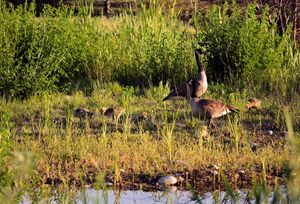 Family of Canadian Geese