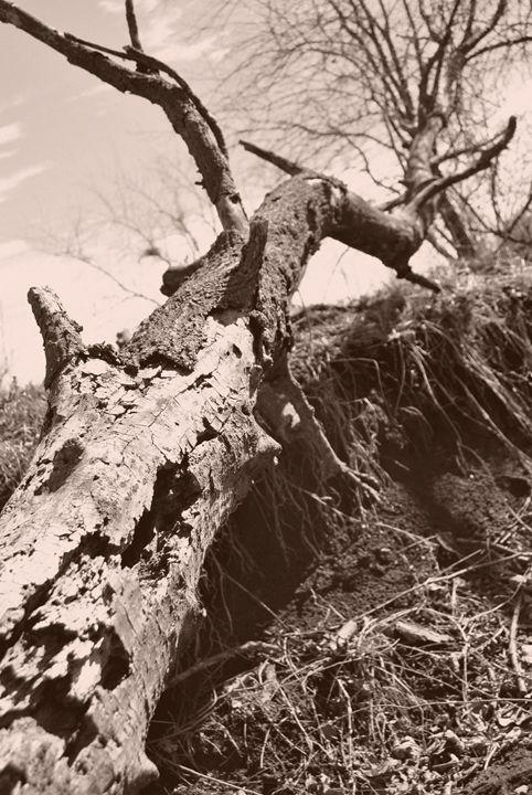 Fallin Tree - Clark Photography