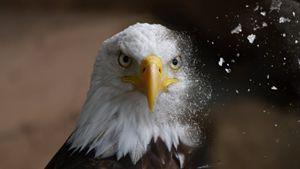 Eagle Dispersion