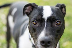 Closeup of black and white dog looki