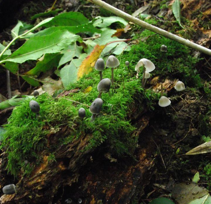 Mushrooms - Maili J McQuaid