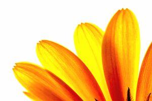Yellow daisy Petals Macro