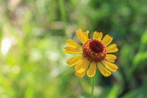 Yellow Aster Wildflower