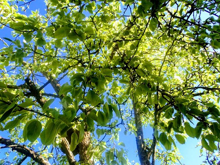 Apple tree - Ema's Art