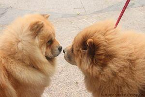 """Chow Chow Love"""